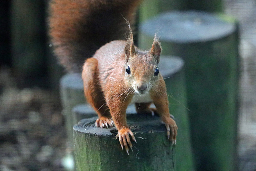 RedSquirrel2