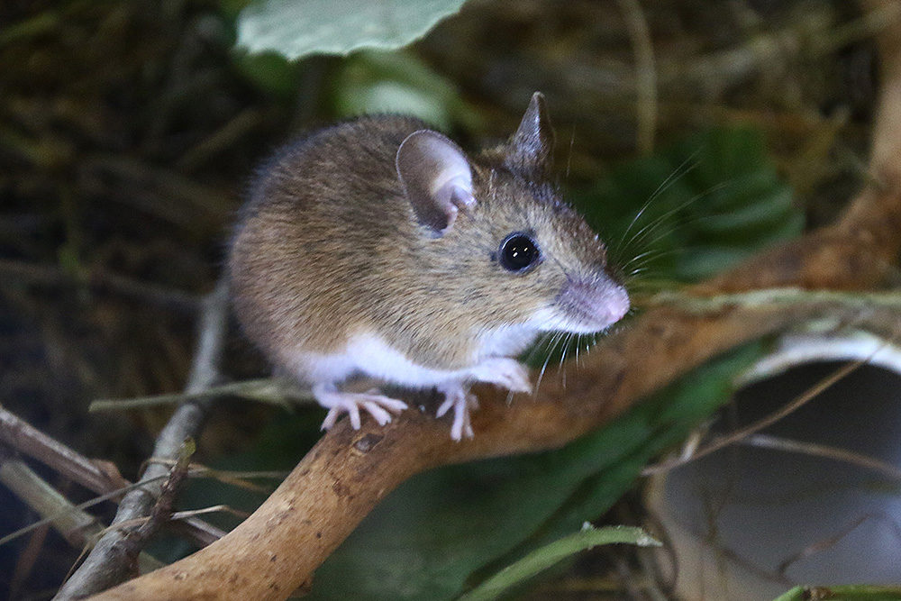 WoodMouse1
