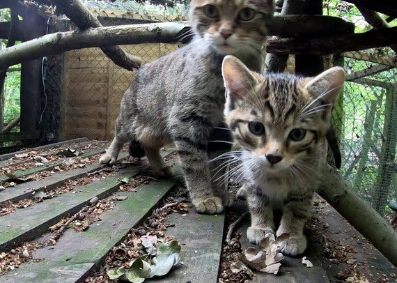 Britain's rarest animal given new hope as four wildcat kittens are born at Wildwood in Kent.