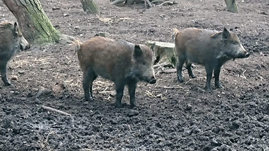Boar_on_move