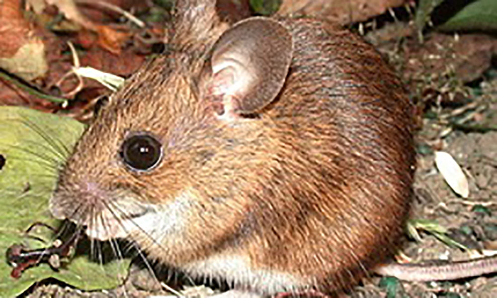 smss woodmouse