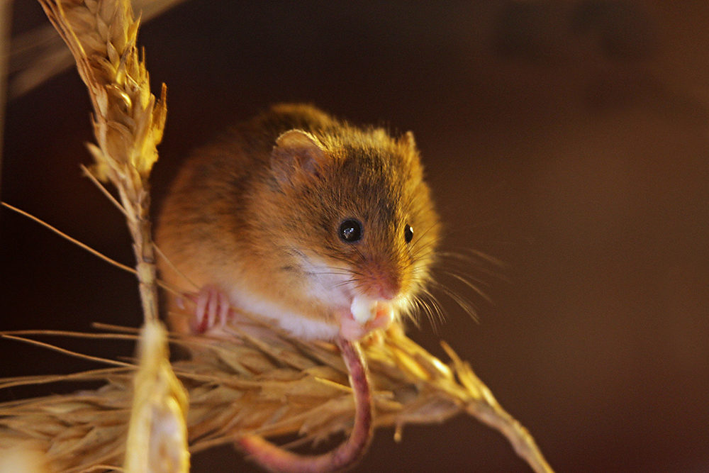 Harvest_Mouse