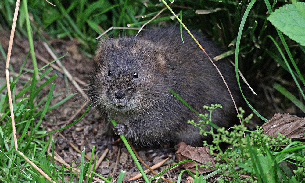 water vole ecology