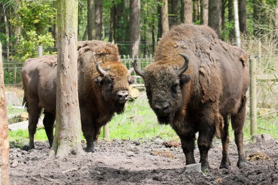 Bison to help bring back UK wildlife