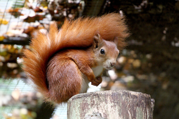 Tragic loss of a Red Squirrel