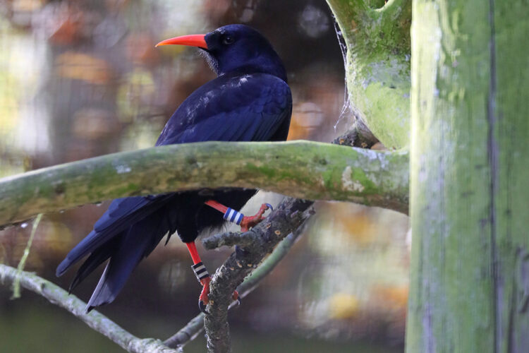 Conservation Spotlight – Red-Billed Chough