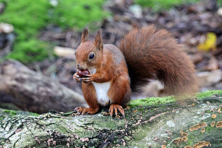 Conservation Spotlight – Red Squirrel
