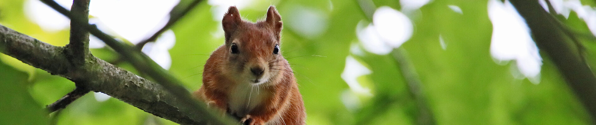 Conservation_spotlight_red squirrel_banner