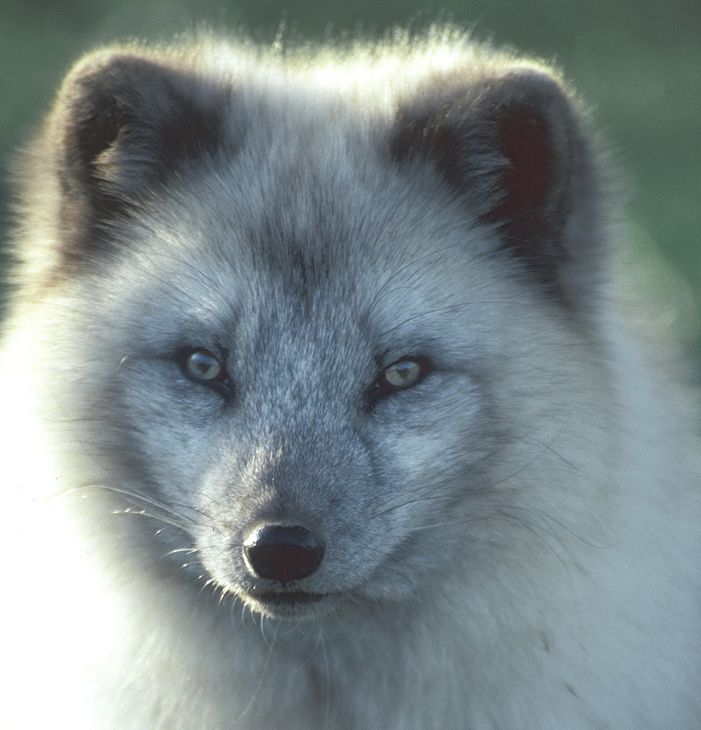 arctic fox face cropped